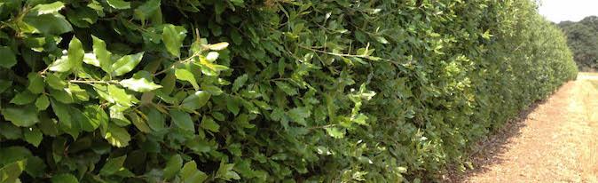 Immergrüne Steineiche