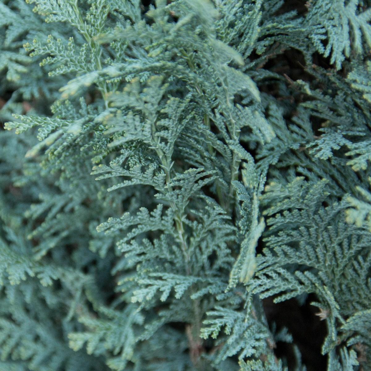 Blaue Scheinzypresse Chamaecyparis Lawsoniana Columnaris Glauca