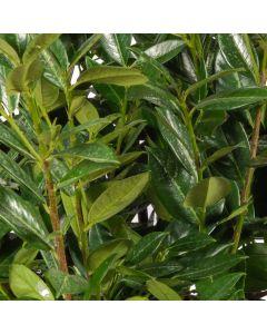 Kirschlorbeer Green Lustre ®